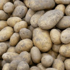 Pommes de terre du champ de Christian PIERRE